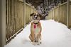 Eleanor (Chelsea Steeb) Tags: rescuepet dog adopted hiking hike lužnice czechrepublic bridge bordercollie labrador borador labmix mixedbreed snow winter