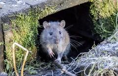 Peek-a-boo (amandahaxby) Tags: rat animal rodent nature wildlife canon sigma