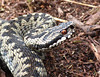 Adder (Peanut1371) Tags: adder snake reptile eye cannockchase nationalgeographicwildlife