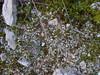 Hepática - Riccia sp. (Joaquim F. P.) Tags: vilaseca tarragona riccia hepática musgo hepaticophyta briófita botánica planta flora marchantiophyta marchantiales
