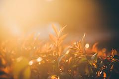 Week 5/52 Golden Hour (Tim Harwick) Tags: sunset sky sun light sunlight sunflare shootintothelight availablelight canon30d sierramadre walk flare nature golden backlit naturallight gold yellow canon canondslr canonef28–105mm goldenhour magichour art winter winterphotography wintertime vsco vscokodakgold macro outdoor outdoors