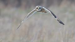 Short-eared Owl (KHR Images) Tags: short eared owl seo shortearedowl asioflammeus wild bird birdofprey hunting inflight flying nature wildlife nikon d500 kevinrobson khrimages