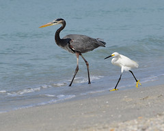Fine-feathered friends :) (all one thing (way behind.......)) Tags: greatblueheron snowyegret finefeatheredfriends beach ardeaherodias egrettathula birds nature gulfofmexico alittlebeauty sunrays5 specanimals coth5