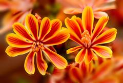 Flowers. (ost_jean) Tags: flowers bokeh nikon d5200 tamron sp 90mm f28 di vc usd macro 11 f004 ostjean