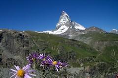 Aster alpinus (AGrinberg) Tags: switzerland 1782020 aster alpinus flower matterhorn