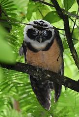 Spectacled Owl (anacm.silva) Tags: spectacledowl owl coruja ave bird wild wildlife nature natureza naturaleza rainforest florestahúmida brauliocarrillorainforest launióndeguápiles guápiles costarica cope birds aves pulsatrixperspicillata