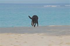Time for a Swim! (smilla4) Tags: beach shore shadow caribbean dog canine labradorretriever thejamaicainn ochorios jamaica blue wave sand