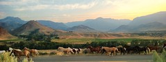 I'M A LONESOME COWBOY (Irene2727) Tags: horses mountains nature sunrise landscape hills wyoming cody equestrian teamofhorses runninghorses