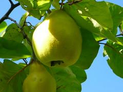 Quitte (Jrg Paul Kaspari) Tags: sky yellow fruit himmel gelb frucht trier reif gelbe petrisberg cydonia oblonga quitte cydoniaoblonga reife quittenfrucht