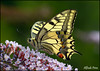 Papilio machaon (alfvet) Tags: macro colors estate butterflies natura colori insetti valsesia farfalle sigma150 veterinarifotografi