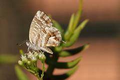 Cacyreus marshalli (Licenide del Geranio) (Carla@) Tags: nature canon europa italia wildlife liguria insetti farfalle lycaenidae mfcc coth supershot cacyreusmarshalli lepidottero coth5 naturallywonderful sunrays5 licenidedelgeranio