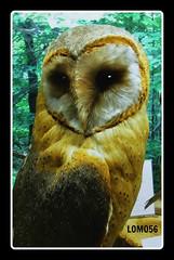 Schleiereule (Tyto alba) (LOMO56) Tags: vgel tytoalba eulen raubvgel tytonidae exotischevgel schleiereuletytoalba schleireule