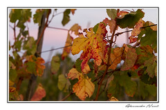 Autumn in the vineyard (Alessandro Nenci) Tags: blue red italy orange verde green leaves yellow foglie canon eos leaf vineyard italia wine vine foliage giallo tuscany grapes montepulciano toscana uva rosso grape arancio 6d 24105 vigna