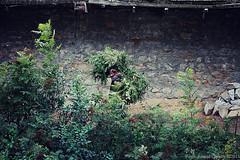 Carrying fodder (f/4) Tags: india manali cannabis himachal tosh kullu hashish pradesh charas parvati