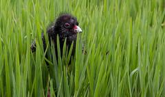 Purple swamp hen (Porphyrio porphyrio)-8188 (rawshorty) Tags: birds australia canberra act rawshorty
