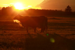 Kuh_MG_4198 - cow (horn.mats) Tags: autumn sunset sun nature canon eos dawn austria evening abend is sterreich sonnenuntergang herbst natur wiese 7d l usm sonne ef f4 steiermark styria abenddmmerung ennstal grasland 24105mm canonef24105mmf4lisusm canoneos7d fischern