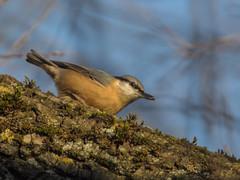 PB180053 (turbok) Tags: kleiber tiere vögel wildtiere c kurt krimberger