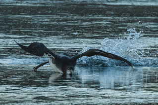Himbrimi-Great Northern Loon-Gavia immer