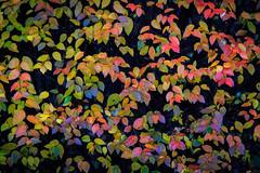 Leavs (.Gu) Tags: trees tree fall leaves iceland bush fallcolors haust tr icelandic lauf leav runni haustlitir laufbl gu ogud olafurragnarsson lafurragnarsson