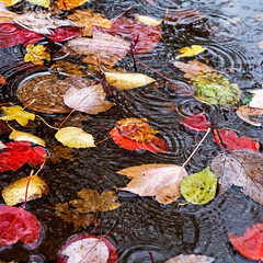 Leaves in a Puddle (Reinardina) Tags: autumn fall colors leaves rain weather puddle movement colours floating ripples downpour clich submersed theelements