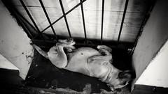 Deep dream dog (David's viewfinder!!) Tags: sleeping blackandwhite streets dogs alone phone dreaming perro verykool