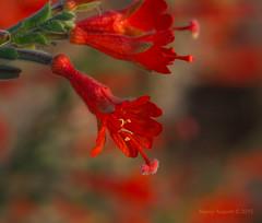 California fuchsia (epilobium canum) (Nancy Asquith) Tags: red flower fuchsia ulistacnaturalarea californiafuchsia epilobiumcanum languageofflowers