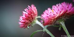 Two (_Natasa_) Tags: pink flower macro art nature closeup canon petals dof bokeh pinkflower canoneos7d canonef100mmf28lmacroisusm natasaopacic natasaopacicphotography