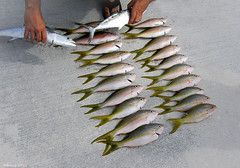 Fishing Party Boat Prize (Denzil D) Tags: canon florida atlanticocean floridakeys mackeral partyboat oceanfishing yellowtailsnapperfish