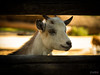 Look out (photographyzimbo) Tags: 2016 201608 gear germany nuremberg olympusomdem1 when zoo camera goat animal animals tier tiere ziege ziegen fence fences zaun hörner weis white horn