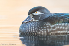 Sleeping Beauty (Matt F.) Tags: bird duck woodduck