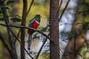 Elegant Trogon (hey its k) Tags: birds costarica eleganttrogon nature wildlife guanacasteprovince cr img0688e canon6d tamron 150600mm trogon