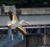 Pelican in Flight (Image_Czar) Tags: americanwhitepelican birds illinois starvedrock illinoisbirds