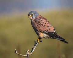 Common kestrel - Falco tinnunculus (Paul M Loader) Tags: widewater lagoon lancing west sussex commonkestrel falco tinnunculus bird prey bop male canon eos 5d mark iv 150600mm f563 dg os hsm | sports 014