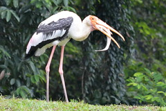 Painted stork - Sashimi lunch, tail wagging fresh (Lim SK) Tags: painted stork cat fish