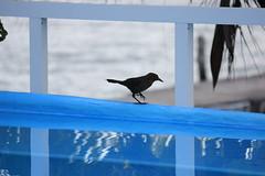 IMG_0413 (DaveGifford) Tags: mexico islamujeres bird casabonita