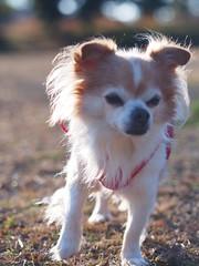 ピノ2017-01-23 15.44.05-2 (やんちゃなちわわ) Tags: ピノ pino 犬 dog チワワ chihuahua