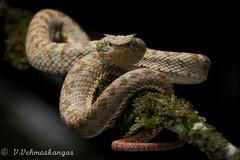 Eyelash viper (Bothriechis schlegelii) (Ville.V.) Tags: bothriechis schlegelii eyelash viper ecuador choco herping herpetology wild wildlife animal