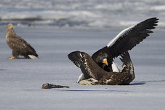 Japan (richard.mcmanus.) Tags: japan lakefuren eagle whitetailedeagle stellersseaeagle bird birdofprey mcmanus hokkaido ice gettyimages winter asia animal