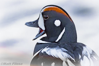 Harlequin Duck (artistic attempt)