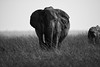 Larger than life (cdx_cdx) Tags: africa canoneos1dxmarkii singletusk kenya safari canonef500mmf4lisii elephants masaimara