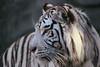 White Tiger, Fort Worth Zoo (nikname) Tags: animals texasparks texasparksandzoos zooanimals fortworthzoo fortworthzooanimals fortworthzootigers tigers tiger whitetiger whitetigers