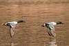 Colorful Shovelers © (Rodolfo Quinio) Tags: northernshoveler northernshovelerdrake northernshovelermale nikond500 tamron150600mm schoolhousepond uppermarlboromd princegeorgescounty duck aquaticbird waterfowl waterbird nature wildlife