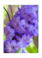 Hyacinth (mahar15) Tags: flower plant hyacinth bloom flowering flowers plants nature flowersplants bulbplant floweringplant