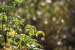 Too much of sunshine! (traptiantiwary) Tags: morning sunshine colors bokeh leaves green nature canon canondslr india