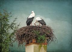 IMG_2655 stork nest (pinktigger) Tags: stork cigüeña storch cicogne ooievaar ciconiaciconia cicogna cegonha bird nature fagagna feagne friuli italy italia oasideiquadris animal outdoor nest chimney texture nest9 magicunicornverybest ruby10 ruby15