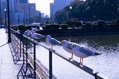 DSC21016 (柯奕劭) Tags: かもめ 海鷗 bird 鳥