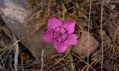 Minyatür çiçek (mehmetcok1) Tags: minyatür yabaniçiçek çiçek pembe bitki 30mm makro htc phone telefon