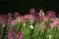 Jardin des Martels (jpto_55) Tags: fleur été jardin jardindesmartels xe1 fuji fujifilm fujixf55200mmf3548rlmois tarn france flickrunitedwinner