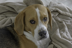 Ready for a Snooze (- Jan van Dijk) Tags: beagle dog perro chien hund hond snoozy snooze pet