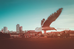 Fly. San Francisco, USA (Marji Lang Photography) Tags: 2017 america american bayarea california dusk ghirardelli ghirardellifactory marjilangphotography northamerica outdoors pacificcoast sanfran sanfrancisco sanfranciscobayarea siliconvalley travelphotography us usa unitedstates unitedstatesofamerica animal atmosphere background bird buildings city citybackground cityscape colorphotography colors complementarycolors composition documentary flight flying flyingseagull free freebird gull mood moody nopeople oneanimal onebird seagull seaside softtones sunset tones towers travel view whiteseagull wild